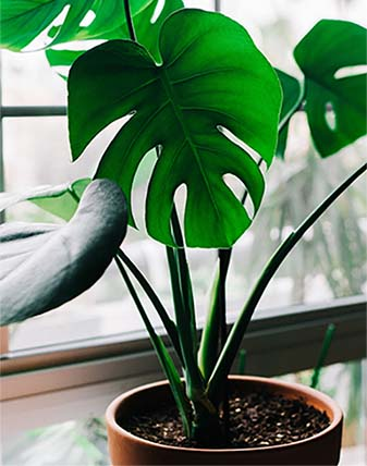 The Split-Leaf Philodendron is an easy to care for houseplant.