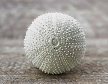 Cabinet knob that looks like a sea urchin shell.